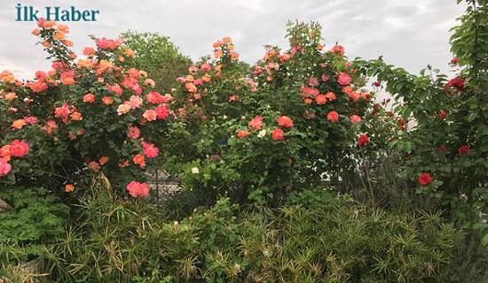 Kartal'da Güller Açtı