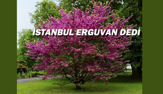 İstanbul Erguvan Dedi