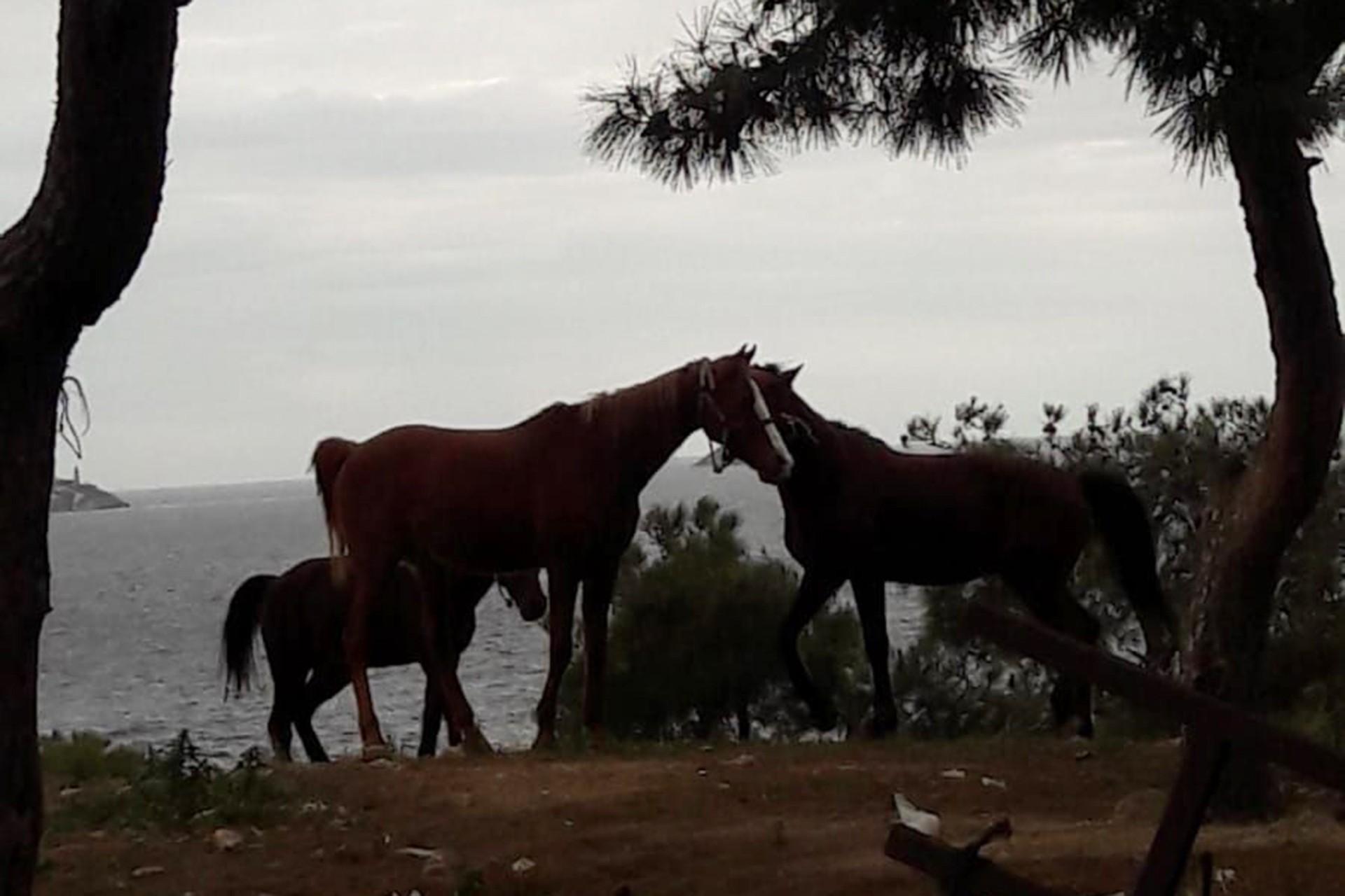 Adadaki Atlar Sahiplendiriliyor