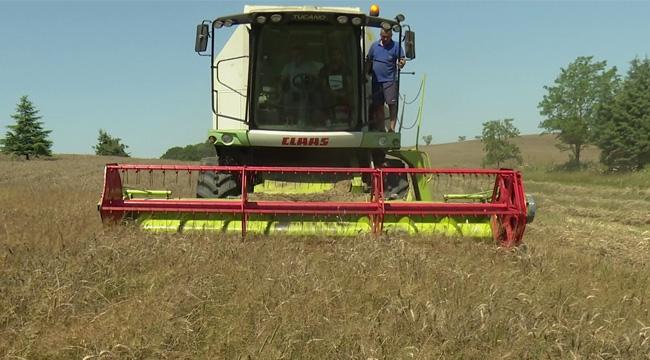 İBB, Boş Duran Arazilerde Ektiği Buğdayın, İlk Hasadını Yaptı